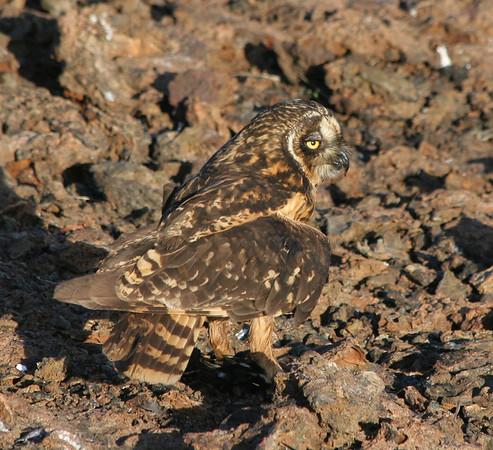 Galapagos ShortEaredOwl