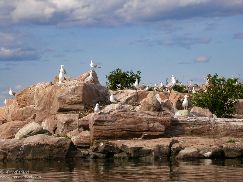 Herring Gull nests