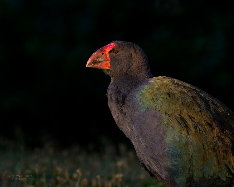 Takahe, Tiritiri Matangi, NZ, March 2015-1.jpg