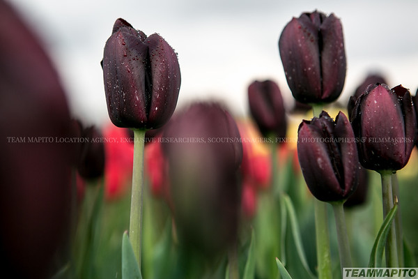 🇳🇱🌷Tulip fields Location Scout   Location Database & Film Locations