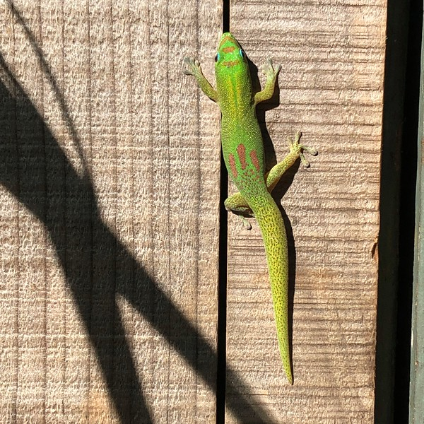 Green Gecko on Fence