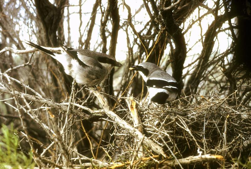 Loggerhead Shrike (Lanius ludovicianus), 1953