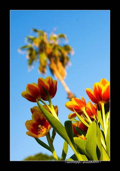 Tulips outdoor_12-EditB.jpg