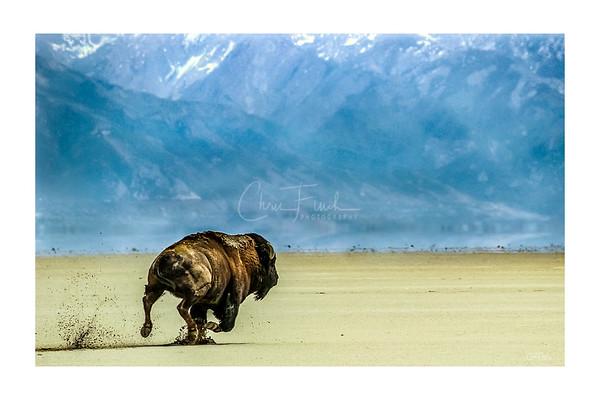 The Great Salt Lake Bison