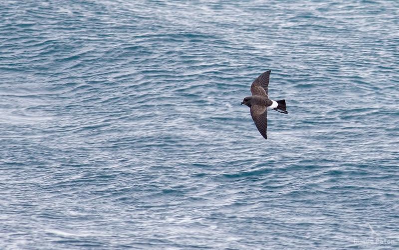 66-Black-bellied-Storm-Petrel-SnaresIsland,NZ-4-12-13-2.jpg