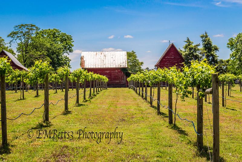 Vineyard and red barns