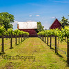 Vineyard and red barns