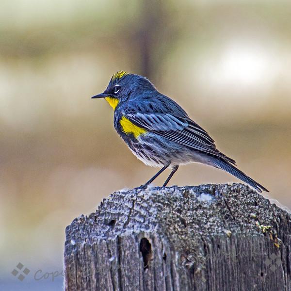 Yellow-rumped Warbler - Judith Sparhawk