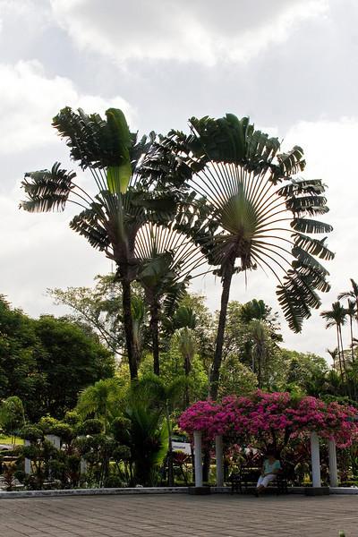 Fan Palms at the Lake Gardens.jpg