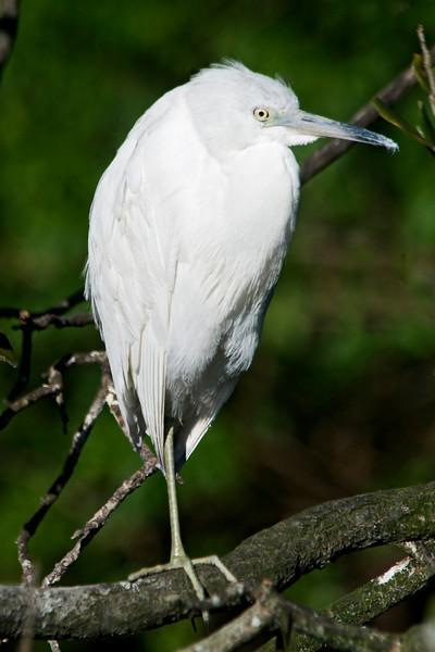 Heron - Little Blue - juvenile - St. Augustine Alligator Farm - FL