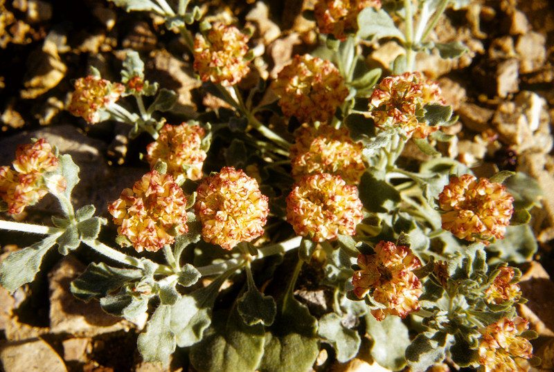 Buckwheat, (Eriogonum sp.) Big Bend National Park, TX, 1958