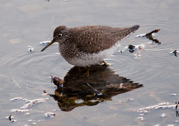 Sandpipers & Yellowlegs