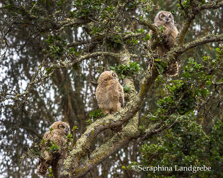 _DSC7505Three Owls b.jpg