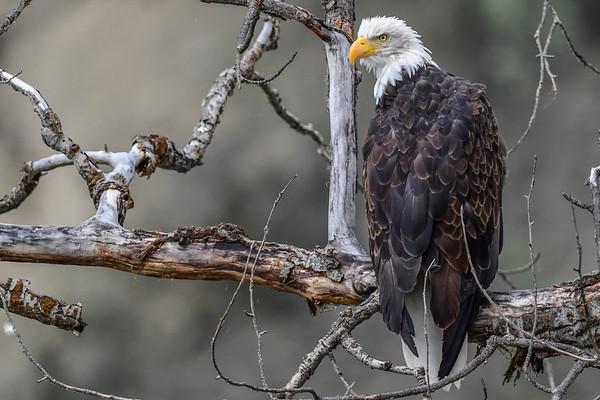 9-13-17 **Bella Coola - Bald Eagle