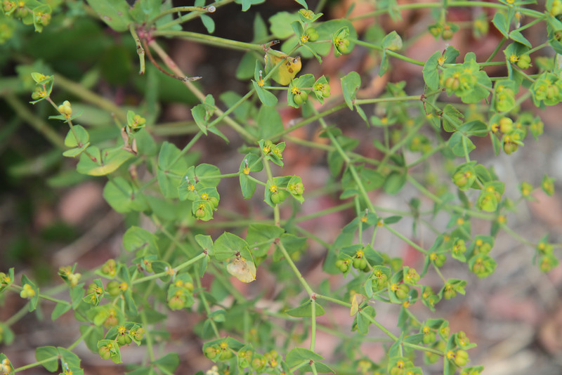 Spurge, Euphorbia terracina, not native. This was found on PVLC property.