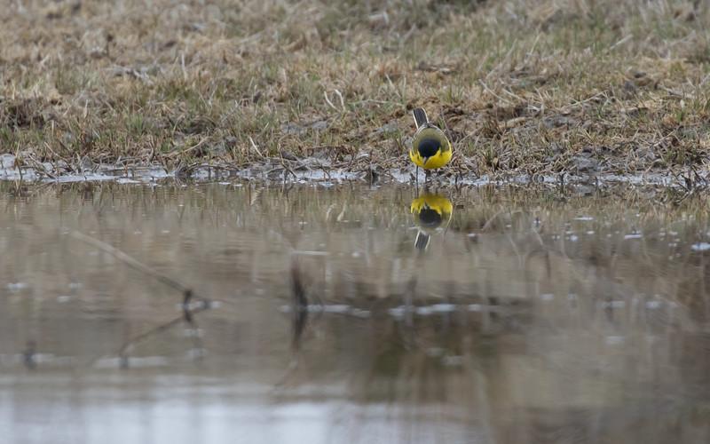 sultan marshes, balkankwikstaart, yellow wagtail ssp feldegg
