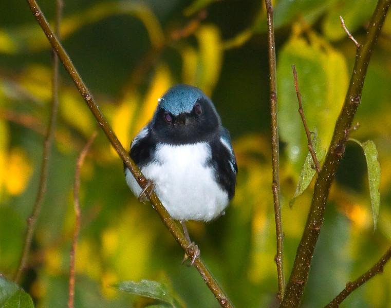 black throated blue warbler male
