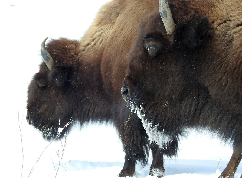 Buffalo (27).JPG