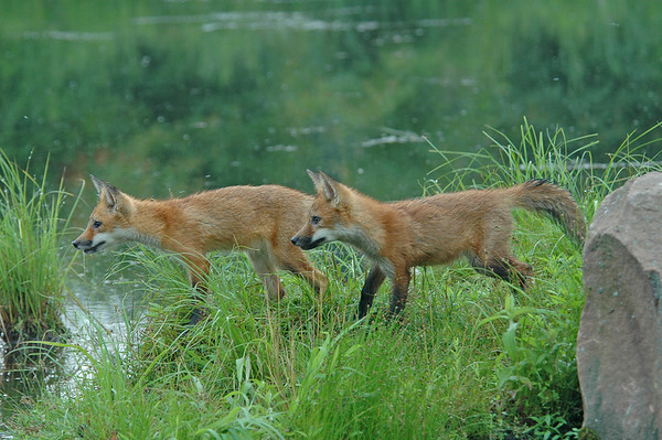 Red Fox Kits - Pine County, MN