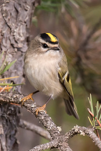 Oct. 9, 2016 - Golden-crowned Kinglets