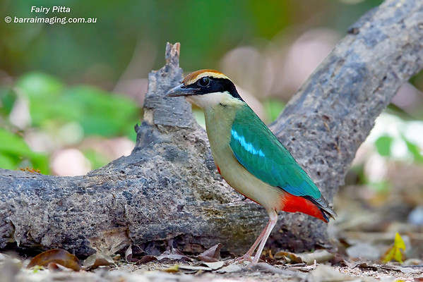 Pittas Family Pittidae