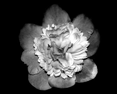 B&W Flowers