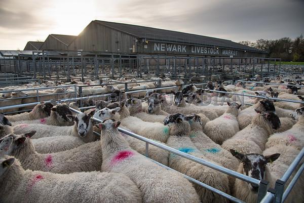 Newark Winter Warmers sheep sale  Nov 2015