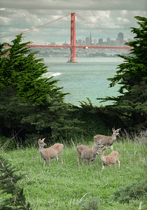 Deer in Marin Headlands  #KW-24