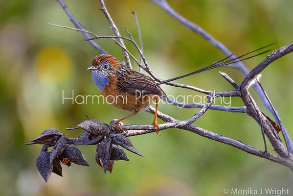 Harmoni Photography Southern Emu Wrens
