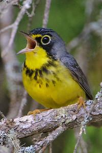 Warblers C-F