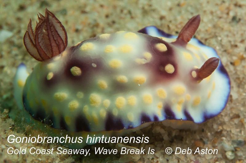 Goniobranchus hintuanensis