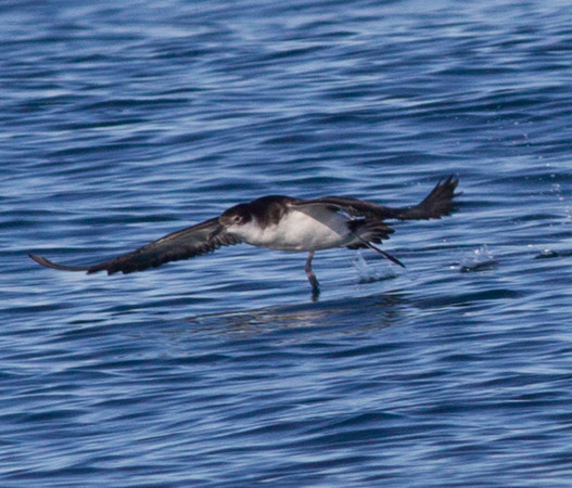Manx Shearwater  Orange County Pelagic  2013 01 12 (7 of 8).CR2