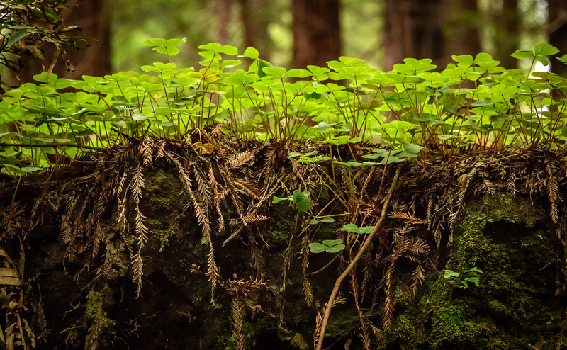 Redwoods in Aptos