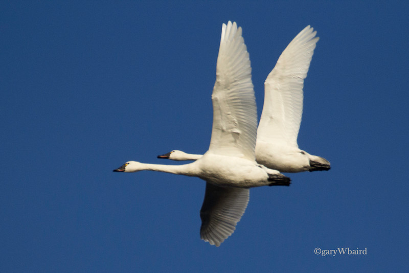 Swan Pair in Flight