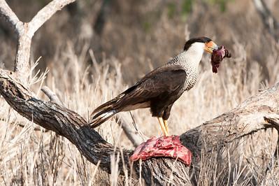 2008 - Texas Bird Safari