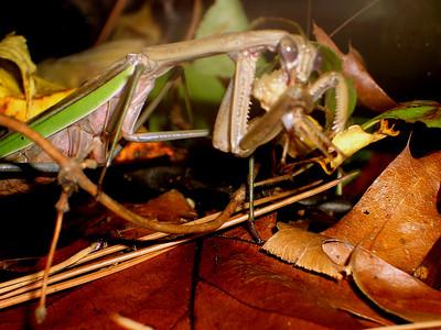 2007 10 Preying Mantis