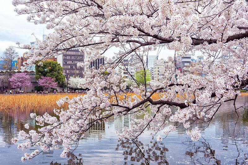 37_Days_Japan_Tokyo_Sakura_Explosion.jpg