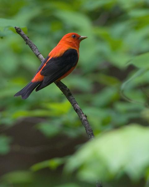 Scarlet Tanager  Monticello Park, Alexandria VA