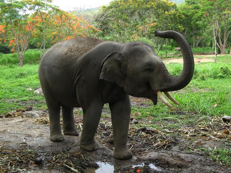 A happy elephant at Patara Elephant Experience.