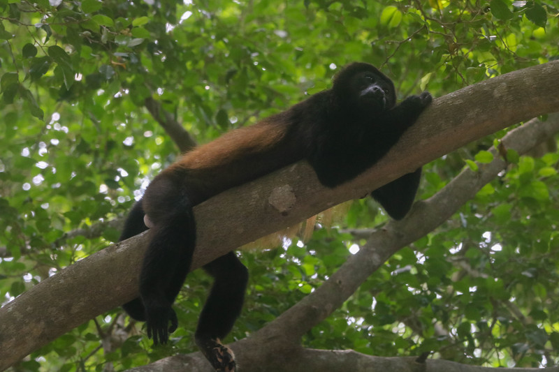 Howler monkey sitting in a tree in Costa Rica