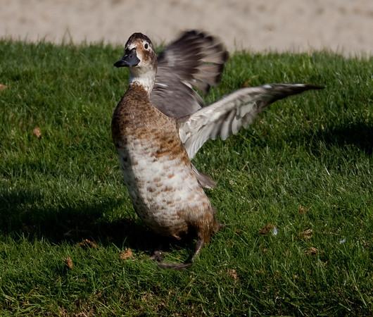 Wood Duck Aix sponsa