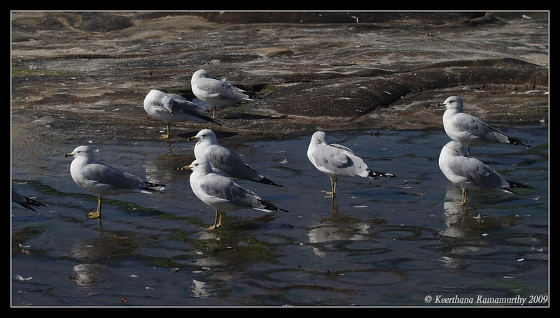 Ring-Billed Gulls, La Jolla Cove, San Diego County, California, February 2009