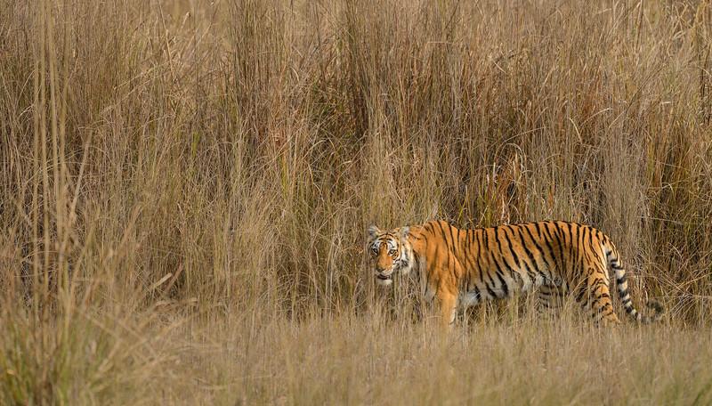 Ringodawali-tigress-bijrani-corbett-1.jpg