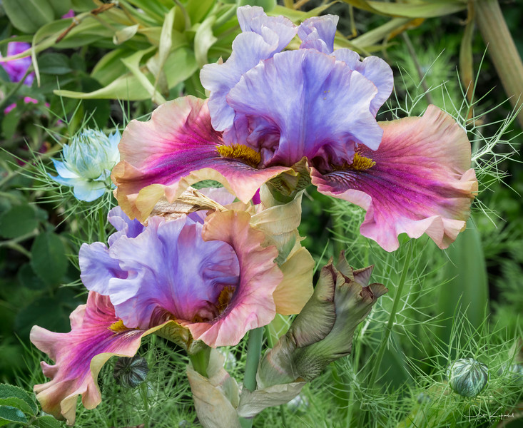 Variegated Irises – Jardin des Tuileries, Paris, France