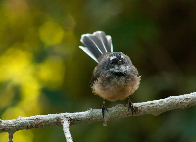 Fantail at Mount Cargill Scenic Reserve, Dunedin