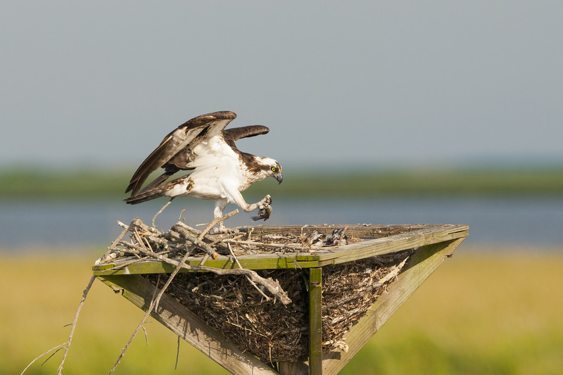 Osprey Mom with Fish.jpg