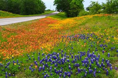 Texas Wildflowers - 2014