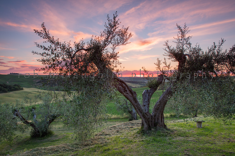 Olive Tree Sunset , Podere Spedalone , Tuscany