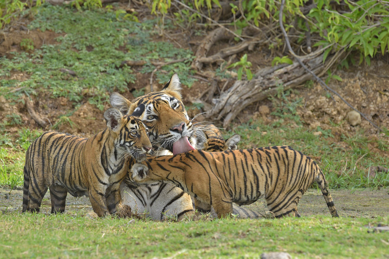 Wild tigress with cubs