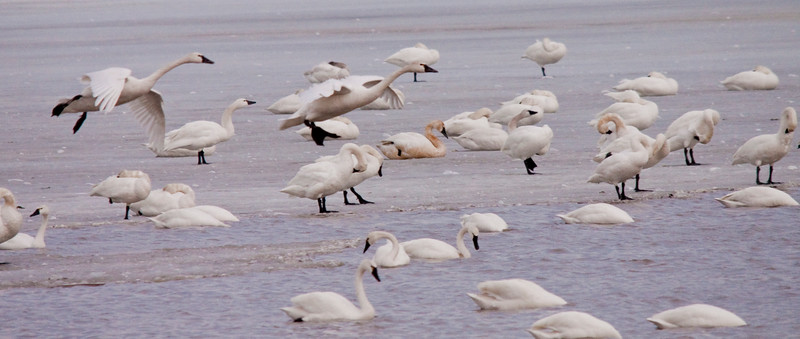 2011 swan migration aylmer (17 of 51).jpg